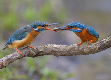 Kingfisher (Alcedo atthis), breeding pair, male handing over a fish to the female as a bridal gift, prey handover, Neckartal, Baden-Wurttemberg, Germany, Europe
