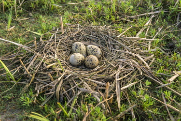 IBXCAG04377145 Pied avocet (Recurvirostra avosetta), nest with clutch of four eggs on ground, Westerhever, Eiderstedt, North Frisia, Schleswig-Holstein, Germany, Europe