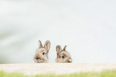 IBXCRU04474737 Young European rabbits (Oryctolagus cuniculus), natural habitat, Lower Austria, Austria, Europe