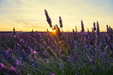 IBXDJS04317875 Blooming lavender field (Lavandula angustifolia), Plateau of Valensole, near Valensole, Provence-Alpes-Cote d'Azur, France, Europe