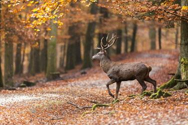 IBLWSC04454997 Red deer (Cervus elaphus) walking through autumn woods, Vulkaneifel, Rhineland-Palatinate, Germany, Europe