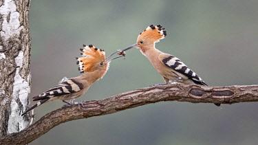 IBLTHI04377857 Hoopoe (Upupa epops), couple on branch, courtship feeding, Saxony-Anhalt, Germany, Europe