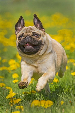 IBLNAO04304910 Pug puppy running in a dandelion meadow, Germany, Europe
