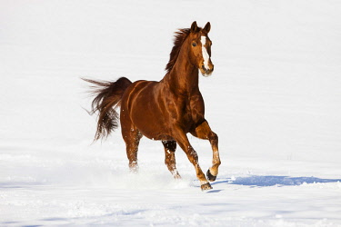 IBLPSA04358266 Hanoverian horse, Sorrel, brown, reddish fur, galloping in the snow, Tyrol, Austria, Europe