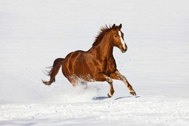 IBLPSA04358269 Hanoverian horse, Sorrel, brown, reddish fur, galloping in the snow, Tyrol, Austria, Europe