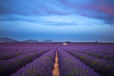 IBLPSA04414568 Blooming lavender (Lavandula angustifolia) with stone cottage, Valensole Plateau, Alpes-de-Haute-Provence, Provence-Alpes-Cote d'Azur, France, Europe