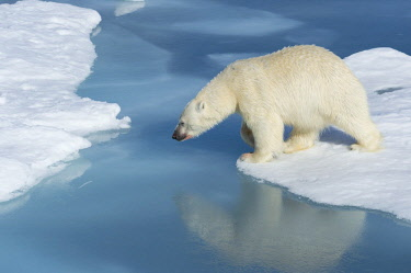 IBLGAB04396469 Male polar bear (Ursus maritimus) with blood on nose, moving across ice and water, Spitsbergen, Svalbard, Norway, Europe