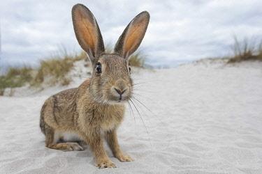 IBLHIN04417865 Wild rabbit (Oryctolagus cuniculus), beach dunes, Mecklenburg-Vorpommern, Germany, Europe