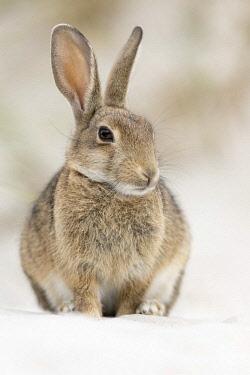 IBLHIN04428587 European or common rabbit (Oryctolagus cuniculus), buck on Baltic Sea dunes, Mecklenburg-Western Pomerania, Germany, Europe