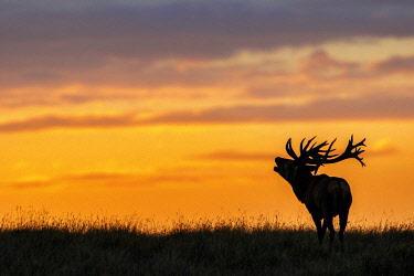 IBLCNA04540867 Red deer (Cervus elaphus), belling at sunset, Denmark, Europe