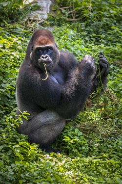 IBLDRN04396295 Western lowland gorilla (Gorilla gorilla gorilla), male feeding, captive, Primate Sanctuary, Limbe, Southwest Region, Cameroon, Africa
