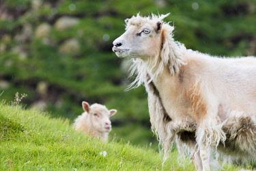CLKRM86171 Sheep in green meadows, Mykines island, Faroe Islands, Denmark