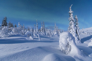CLKRM87740 Northern lights on forest covered with snow, Pallas-Yllastunturi National Park, Muonio, Lapland, Finland