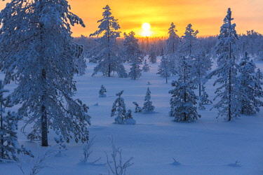 CLKRM87742 Sunset on frozen forest covered with snow, Luosto, Sodankyla municipality, Lapland, Finland