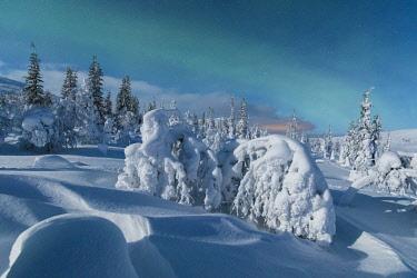 CLKRM87744 Northern lights on frozen dwarf shrubs, Pallas-Yllastunturi National Park, Muonio, Lapland, Finland