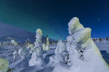 CLKRM87747 Northern lights on frozen dwarf shrubs, Pallas-Yllastunturi National Park, Muonio, Lapland, Finland
