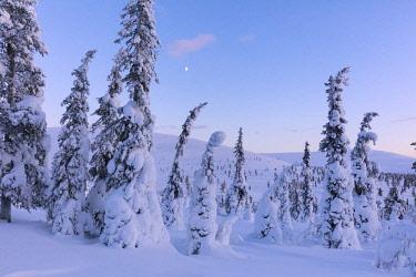 CLKRM87796 Frozen trees in the snowy woods, Pallas-Yllastunturi National Park, Muonio, Lapland, Finland