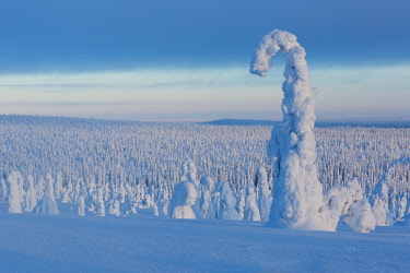 CLKSC85149 Typical ice sculptures in the woods of Riisitunturi national park, posio, lapland, finland