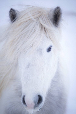 CLKST83881 White icelandic horse, Snaefellsness peninsula, Iceland
