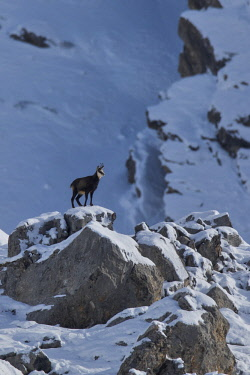 CLKCC88020 Chamois on the rocks, italian alps, Piedmont, Italy