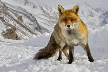 CLKCC88059 Red fox on the snow, italian alps, Piedmont, Italy
