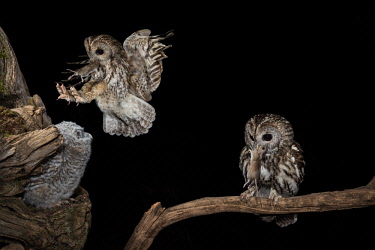 CLKJR84927 The Tawny owl feeds its young, Trentino Alto-Adige, Italy