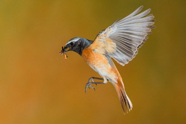 CLKJR84999 Male redstart in flight with prey, Trentino Alto-Adige, Italy