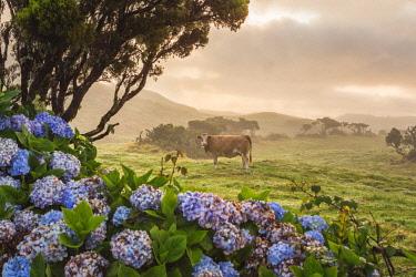 CLKFV88264 Portugal, Azores, Pico, Landscape of the island with cow.