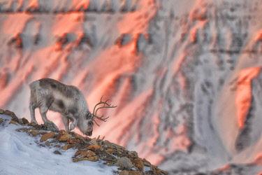 CLKMG85602 Svalbard reindeer (Rangifer tarandus platyrhynchus), in Spitsbergen, Svalbard, Norway
