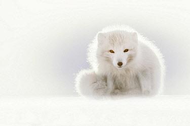 CLKMG85609 Arctic fox (Alopex lagopus), Billenfjorden, Pyramiden, Spitsbergen, Svalbard, Norway