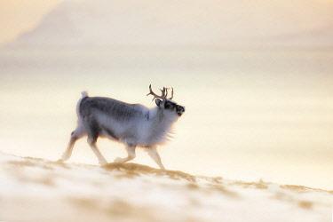 CLKMG86510 Svalbard reindeer (Rangifer tarandus platyrhynchus) in Spitsbergen