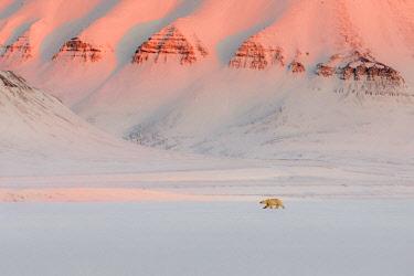 CLKMG86518 Polar bear (ursus maritimus) in Billefjorden, near Pyramiden, in western Spitsbergen Island, Svalbard.