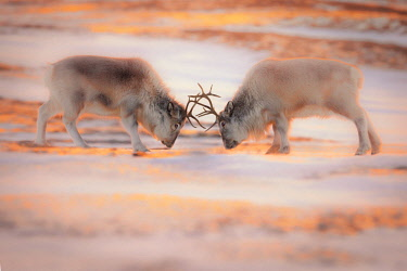 CLKMG86524 Svalbard reindeer (Rangifer tarandus platyrhynchus) in Spitsbergen