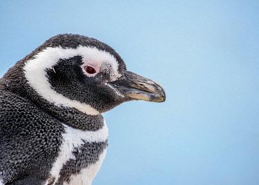 ARG3019AW Magellanic penguin (Spheniscus magellanicus) in Caleta Valdes, Valdes Peninsula, UNESCO World Heritage Site, Chubut Province, Patagonia, Argentina