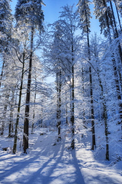 AUT0872AW Winter trees at the Raintal in the Tannheimer mountains of the Allgv�u, Musau, Tyrol, Austria