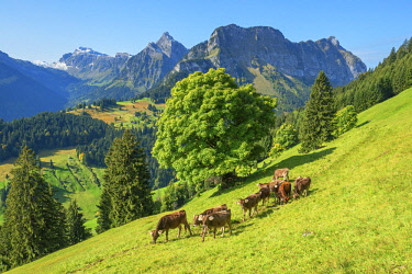 SWI8118AW View at Obersee mountain range with cows at Glarner alps at fall, Glarus, Switzerland