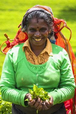 SL01192 Sri Lanka, Nuwara Eliya disctict, Tea pluckers
