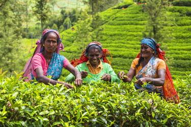 SL01240 Sri Lanka, Nuwara Eliya disctict, Tea pluckers