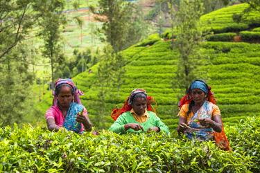 SL01241 Sri Lanka, Nuwara Eliya disctict, Tea pluckers