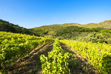 SPA8103 Vineyards producing organic wines in the Cap de Creus natural reserve north of the Costa Brava in the province of Girona in Catalonia Spain