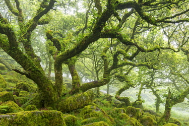 ENG15698AW Twisted, moss covered trees in the mysterious Wistman's Wood in Dartmoor National Park, Devon, England. Summer (July) 2017.