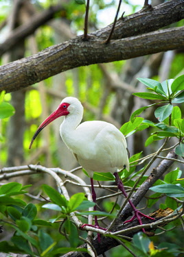 US11927 American White Ibis, Wild Bird, Coffee Pot Park, Bayou, Saint Petersburg, Florida