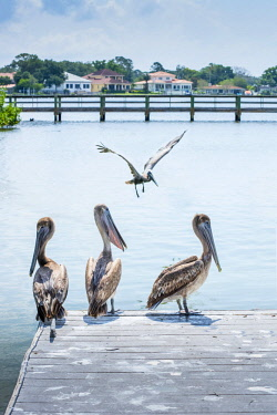 US11930 Brown Pelicans, Coffe Pot Park, Saint Petersburg, Florida