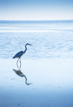 US11931 Great Blue Heron, Hunting For Fish, Tampa Bay, Saint Petersburg, Florida