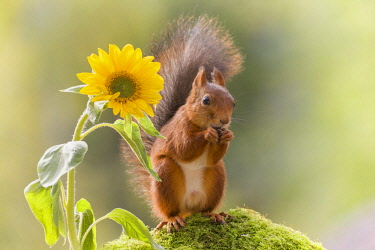 ARWEGE001579 Cute photograph of a single red squirrel beside a sunflower