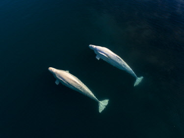 ARMARA001215 Directly above view of two beluga whales swimming side by side in Arctic Sea, Svalbard