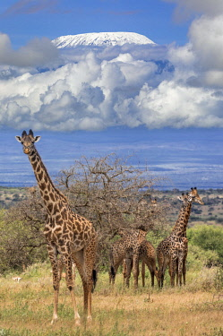 KEN11242 Kenya, Amboseli, Kajiado County.  Maasai Giraffes with Mount Kilimanjaro in the background.