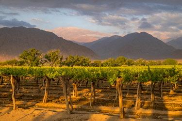 HMS3202912 Argentina, Noroeste, Salta province, Valles Calchaquies, vineyard in Cafayate,
