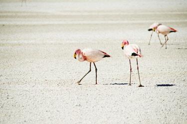 HMS3113791 Bolivia, Bolvian Desert, Reserva Eduardo Avaroa, Flamingoes on Laguna Hedionda