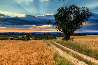 FRA10420AW Country Lane & Tree, Valensole Plateau, Provence, France